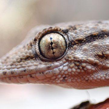 Supergeckos, uno de los antimosquitos naturales más primitivos